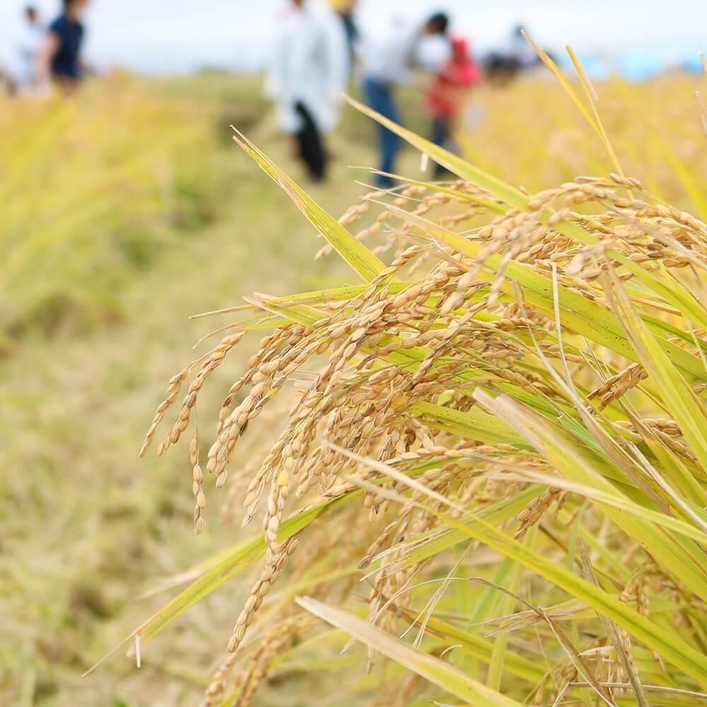 化学肥料・除草剤・農薬不使用の特別栽培米です。
