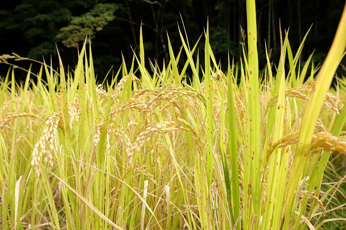 群言堂日記07-実りの秋、稲刈りに挑戦!