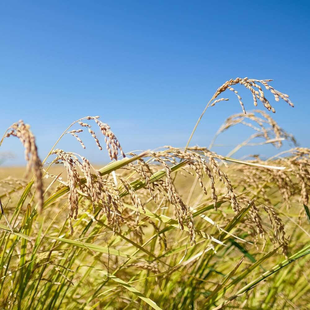 茨城県産の特別栽培米