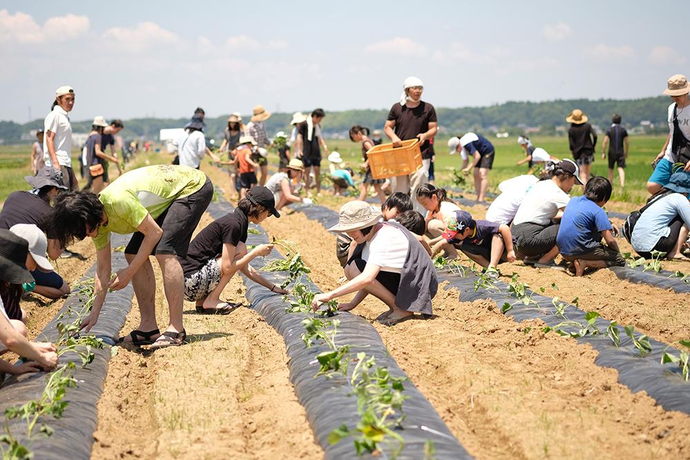 さつまいもを植える参加者たち